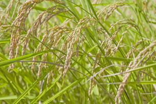 秋に実った稲の写真素材 [FYI04540176]
