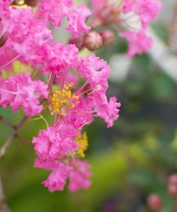 サルスベリのピンクの花びらと黄色い雄しべの写真素材 [FYI04540193]