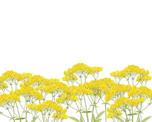 オミナエシ水彩画のイラスト素材 [FYI04540917]