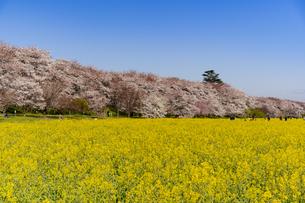 幸手市の権現堂堤・菜の花と満開の桜の写真素材 [FYI04540946]