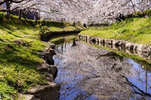 元荒川沿いの満開の桜の写真素材 [FYI04540978]