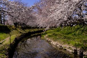 元荒川沿いの満開の桜の写真素材 [FYI04540979]