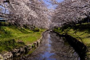 元荒川沿いの満開の桜の写真素材 [FYI04540981]