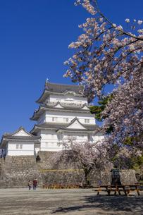 小田原城と満開の桜の写真素材 [FYI04540983]