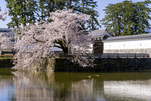 小田原城址公園の満開の桜の写真素材 [FYI04541001]