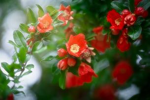 ザクロの花の写真素材 [FYI04541230]