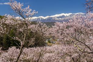 高遠城址公園の満開の桜と日本アルプスの写真素材 [FYI04541340]