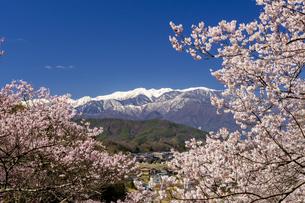 高遠城址公園の満開の桜と日本アルプスの写真素材 [FYI04541341]