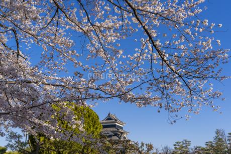 松本城と満開の桜の写真素材 [FYI04541346]