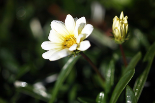 白いガザニアの花の写真素材 [FYI04541353]