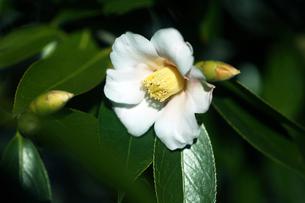 白い侘助の花の写真素材 [FYI04541357]