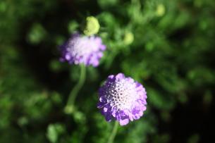 スカビオサの花の写真素材 [FYI04541363]
