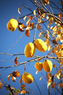 青空にカリンの実が熟すの写真素材 [FYI04541367]