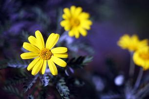 黄色いユリオプスデージーの花の写真素材 [FYI04541370]