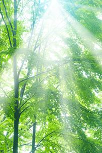 新緑の葉と木漏れ日の写真素材 [FYI04541391]