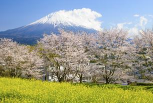 静岡県 菜の花と桜と富士山の写真素材 [FYI04541960]
