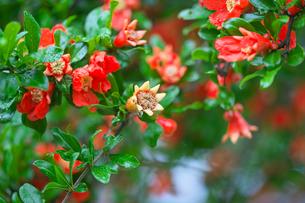 ザクロの花の写真素材 [FYI04542018]