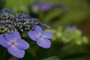 紫陽花の写真素材 [FYI04542201]