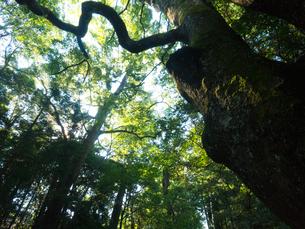 三重県 伊勢神宮 内宮の木々の写真素材 [FYI04542265]