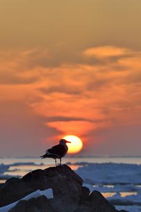 夕日とオオセグロカモメ(北海道・知床)の写真素材 [FYI04542317]