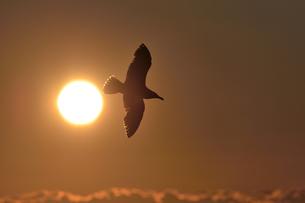 夕日とオオセグロカモメ(北海道・知床)の写真素材 [FYI04542321]
