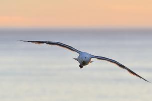 夕陽の海を飛ぶオオセグロカモメ(北海道・知床)の写真素材 [FYI04542322]