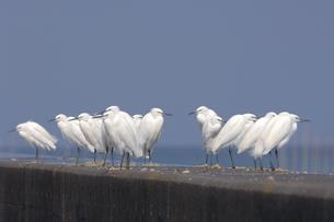 コサギの群(鹿児島県・出水市)の写真素材 [FYI04542330]
