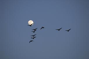 満月とマガンの群(北海道・宮島沼)の写真素材 [FYI04542345]