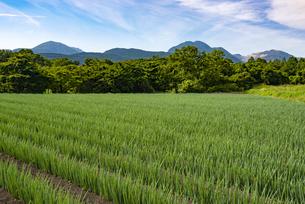 九重連山とネギ畑の写真素材 [FYI04542366]