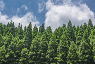 杉の木の写真素材 [FYI04542396]