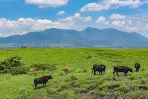 九重連山を背景に阿蘇の放牧の写真素材 [FYI04542397]