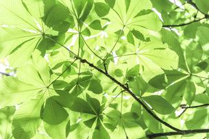 一面のトチノキの枝葉を見上げるの写真素材 [FYI04542482]