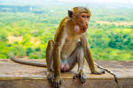 猿(スリランカ・シーギリヤロック)の写真素材 [FYI04542688]