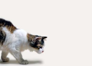 猫のしぐさの写真素材 [FYI04542724]