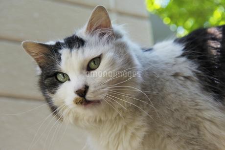 雌猫の顔の写真素材 [FYI04542727]