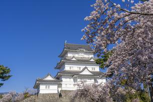 小田原城と満開の桜の写真素材 [FYI04542953]
