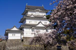 小田原城と満開の桜の写真素材 [FYI04542954]