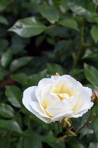 白いバラの花の写真素材 [FYI04542993]