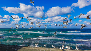 日本海を群舞するウミネコの群れの写真素材 [FYI04543097]