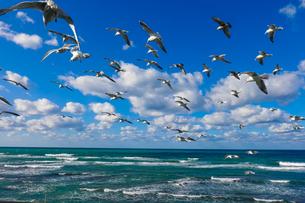 日本海を群舞するウミネコの群れの写真素材 [FYI04543107]