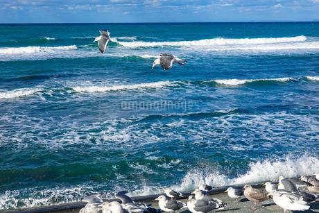 日本海を飛ぶウミネコの写真素材 [FYI04543119]