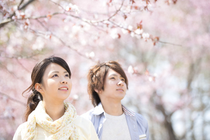 桜を見上げるカップルの写真素材 [FYI04545130]