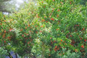 ザクロの木の写真素材 [FYI04547910]