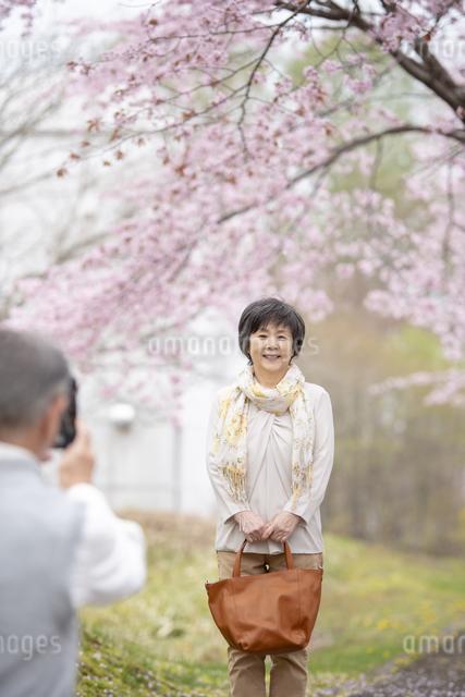 桜の中で写真を撮るシニア夫婦の写真素材 [FYI04558395]