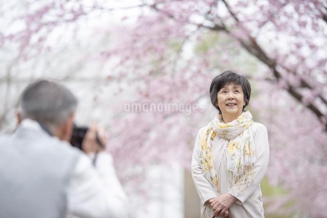 桜の中で写真を撮るシニア夫婦の写真素材 [FYI04558402]