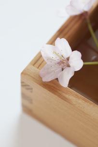 桜と升の写真素材 [FYI04559936]