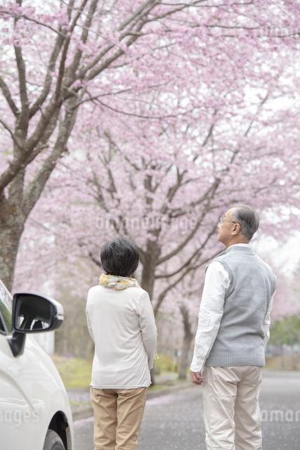 桜を見つめるシニア夫婦の後ろ姿の写真素材 [FYI04560506]