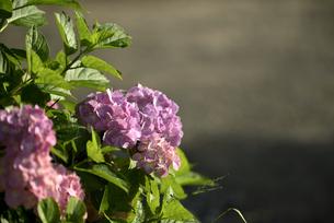 紫陽花の写真素材 [FYI04560530]