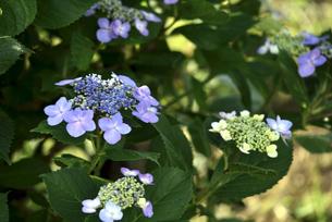 紫陽花の写真素材 [FYI04560536]