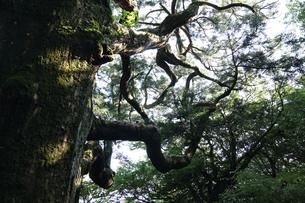 紫峰松の写真素材 [FYI04560639]